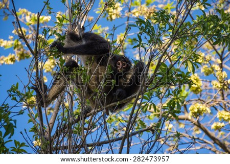 A mother and baby spider monkey in a tree near Cancun in Mexico. - stock photo
