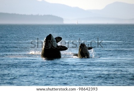 A mother and calf orca breach in synchrony. - stock photo