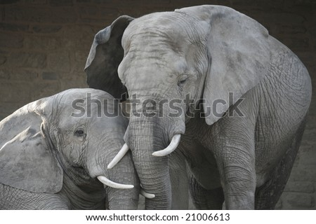 A mother and child elephant in love, cuddling. - stock photo