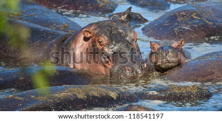 A mother and her baby, two Hippos cuddle up in the watering hole. Serengeti National Park, Tanzania - stock photo