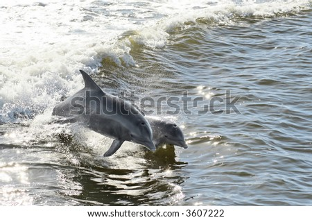 A mother dolphin and her calf jumping out of the water together. - stock photo
