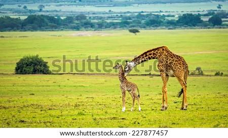 A mother giraffe with her baby. Maasai Mara National Reserve, Kenya. - stock photo