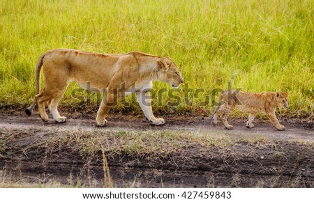 A Mother Lioness with her cubs in Masai Mara reserve, Kenya - stock photo