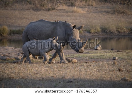 A mother Rhino leads her calf away from the water - stock photo