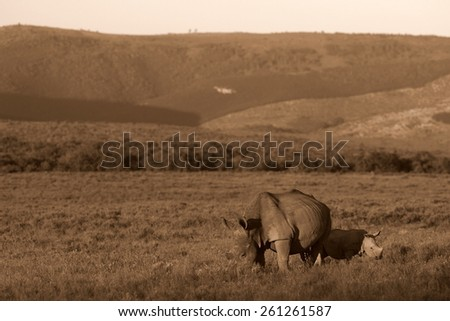 A mother white rhinoceros and her calf grazing in this image. - stock photo