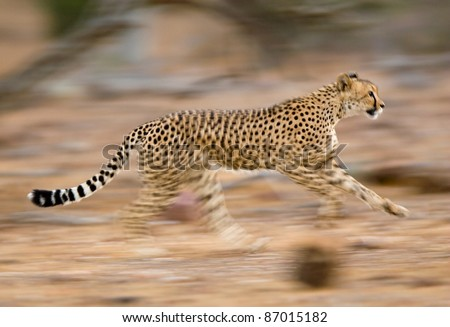 A motion blur photograph of a young cheetah running - stock photo