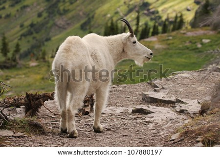 A mountain goat on the trail to the hidden lake at the Glacier National Park, Montana. In the Logan pass area. - stock photo