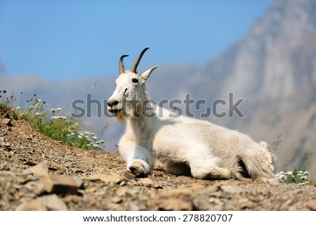 A mountain goats (Oreamnos Americanus) in beautiful Glacier National Park, Montana. - stock photo