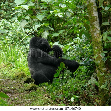 a Mountain Gorilla sitting in the cloud forest of Uganda (Africa) - stock photo