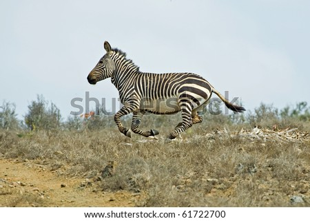 A Mountain Zebra racing along the hill - stock photo