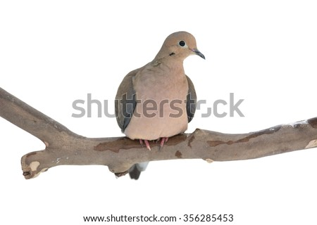 A mourning dove sitting on a sycamore branch isolated on white. - stock photo