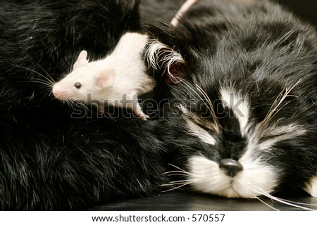 A mouse crawling over a sleeping cat. - stock photo