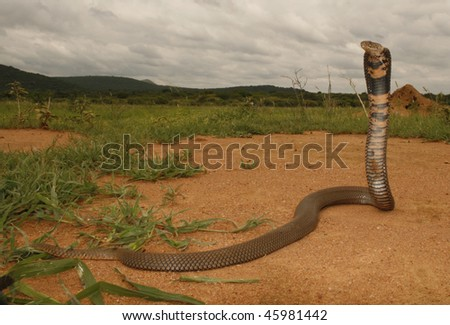 A Mozambique spitting cobra - stock photo