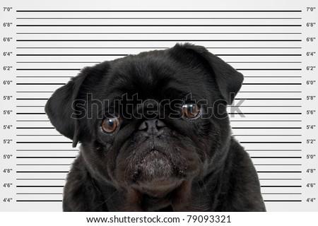 A mug shot of a black pug - stock photo