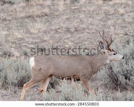 A mule deer buck walking toward some females - stock photo