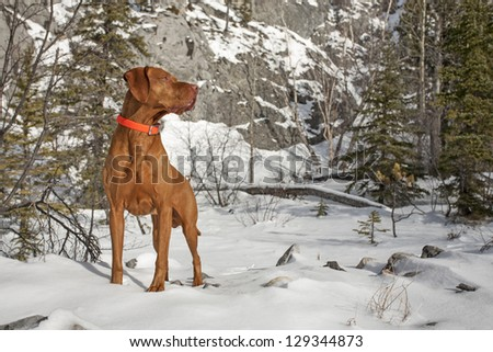 a muscular pure breed hunting dog in winter settings - stock photo
