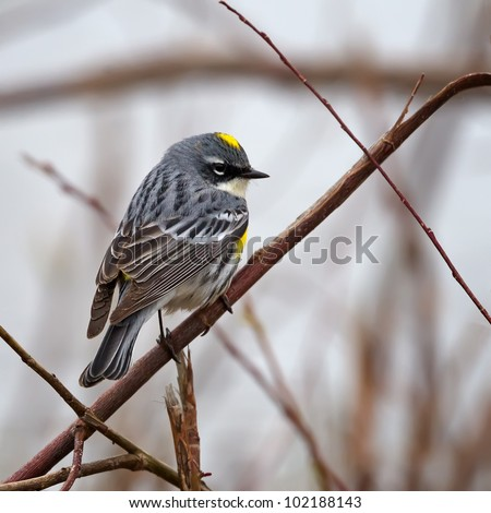 A Myrtle Warbler perched on a branch. - stock photo