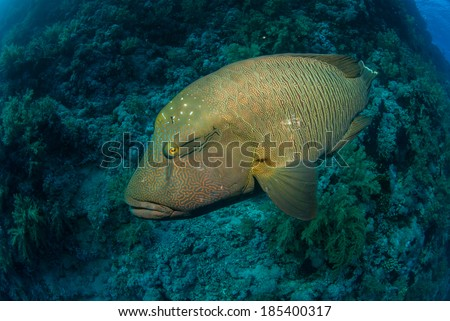 A napoleon wrasse with a coral reef background - stock photo