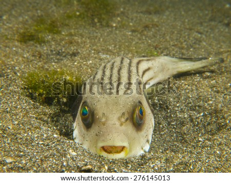 A narrow-lined puffer half buried in the sand, one of many unusual critters encountered at Secret Bay, northern Bali. - stock photo