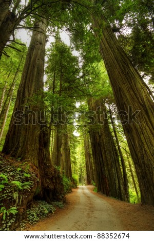 A narrow road through the Redwood Forest. - stock photo