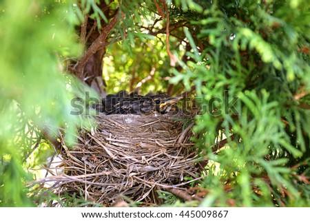 A nest full of fledling baby robin birds in the spring in an Arborvitae tree. - stock photo