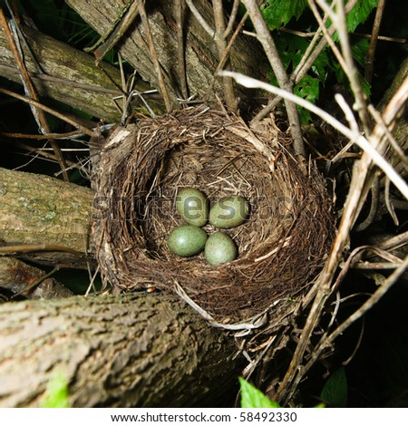 A nest of a Fieldfare (Turdus pilaris) with four eggs. - stock photo