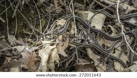 A nest of young garter snakes on the forest floor - stock photo