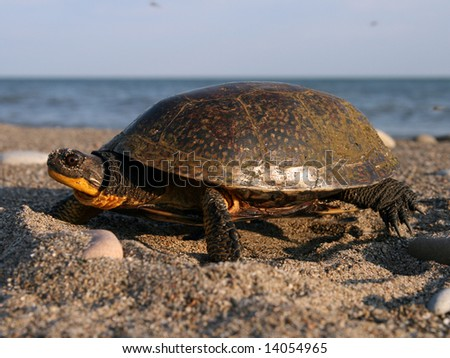 A Nesting Female Blanding's Turtle (she has just finished laying, and is bringing in sand with her hind limb and tamping it down with her plastron) - stock photo