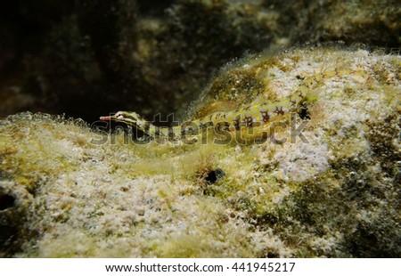 A network pipefish, Corythoichthys flavofasciatus, underwater in the lagoon of Huahine island, Pacific ocean, French Polynesia - stock photo