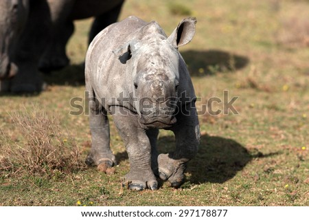 A new born baby white rhino / rhinoceros calf in this image taken on safari in South Africa - stock photo