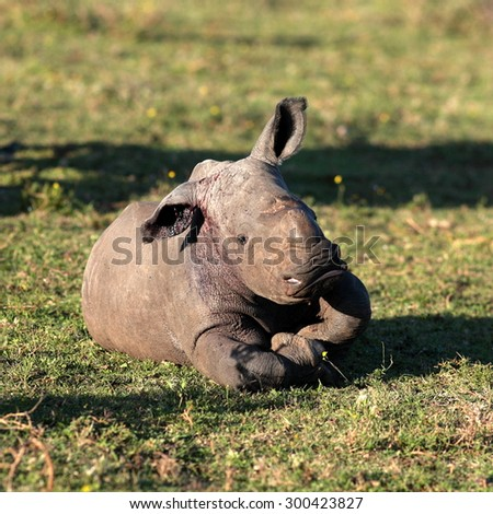 A new born white rhono / rhinoceros baby / calf in this photo from South Africa - stock photo