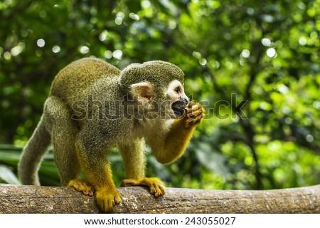 A New World Spider Monkey scene with lush green foliage. - stock photo