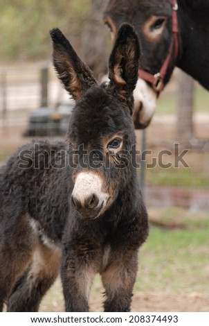 A newborn donkey stands near her mother in their pasture. - stock photo