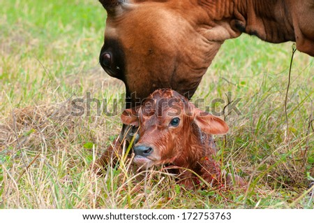 A newborn Jersey calf is cared for and protected by its mother - stock photo
