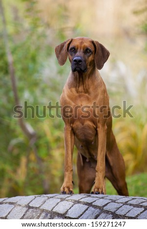 A nice looking black nosed Rhodesian Ridgeback female is standing on a stone wall. - stock photo