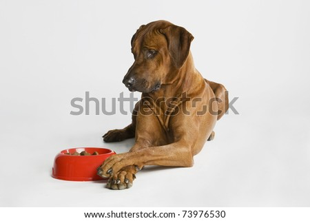 a nice looking rhodesian ridgeback dog is watching his food. - stock photo