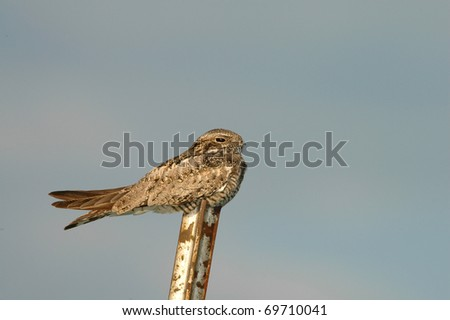a nighthawk roosting on a rusted fence post during the day. - stock photo