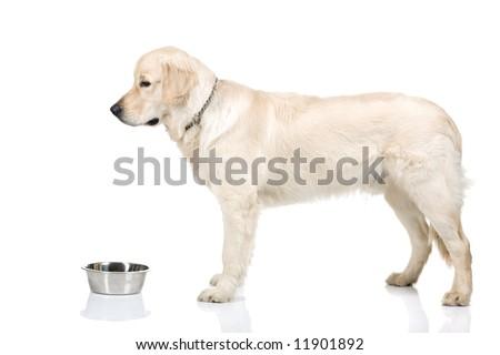 A nine month golden retriever on white background - stock photo