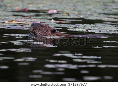 A North American Beaver (Castor canadensis) surfacing in a pond in Algonquin Provincial Park, Ontario, Canada. - stock photo