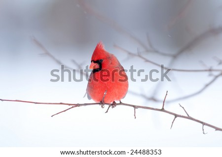 A northern cardinal is perched in a tree following a snowstorm - stock photo