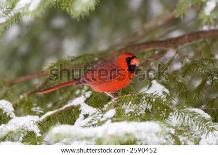 A northern cardinal sits in an evergreen tree following a snowstorm in Illinois - stock photo