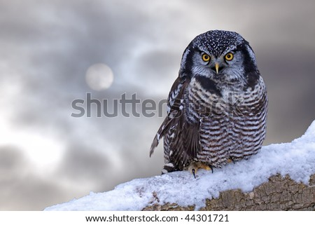A northern hawk owl against the winter sky - stock photo