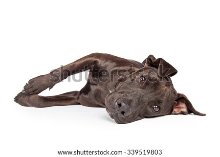 A one year old dark brown color Labrador Retriever and Pit Bull mixed breed dog laying on his side and looking into camera - stock photo