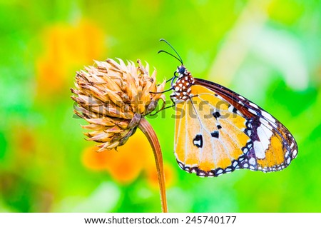 A orange butterfly on flower, Thailand. - stock photo
