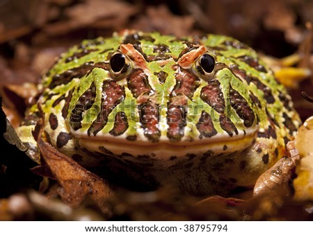 """a """"Pac-man"""" frog. - stock photo"""