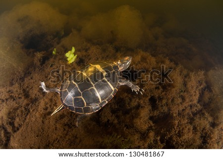A Painted turtle (Chrysemys picta) swims through the water of a pond on Cape Cod, Massachusetts.  This reptile is a common inhabitant of freshwater habitats throughout New England. - stock photo