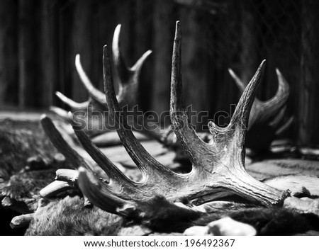A pair of antlers lying on the ground. - stock photo