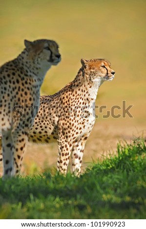 A pair of Cheetahs stand and oversee the savannah - stock photo