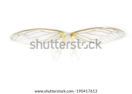 A pair of cicada insect wings - stock photo
