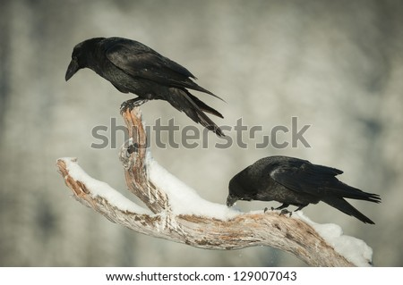 A pair of Common Ravens perched on a snow covered branch of a dead pine tree. One is looking down watching an eagle feeding, the other is cleaning its beak in snow. - stock photo